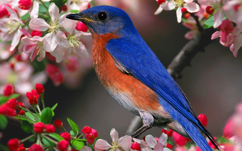 Bluebird on flowering cherry tree branch here in ne pa i