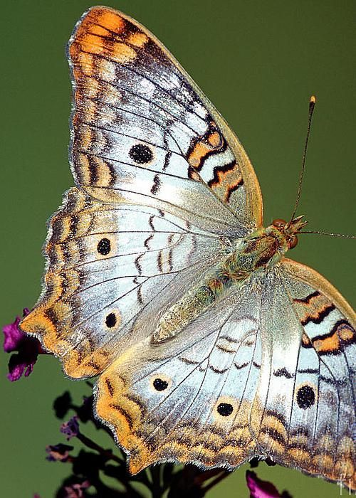 ~~White Peacock Butterfly by Millard H Sharp~~