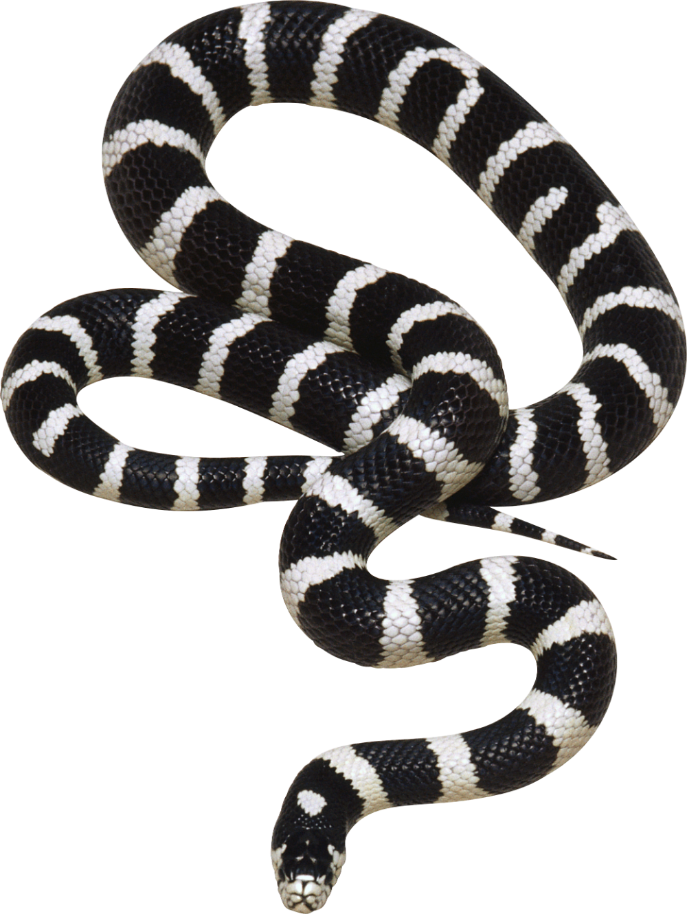 Snake Png Image Free Download Png Picture Snakes Black And Yellow Snake California King Snake Animals Black And White