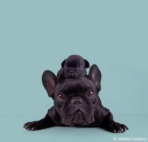 Frenchie On The Brain Puppies Baby Animals Cute Puppies