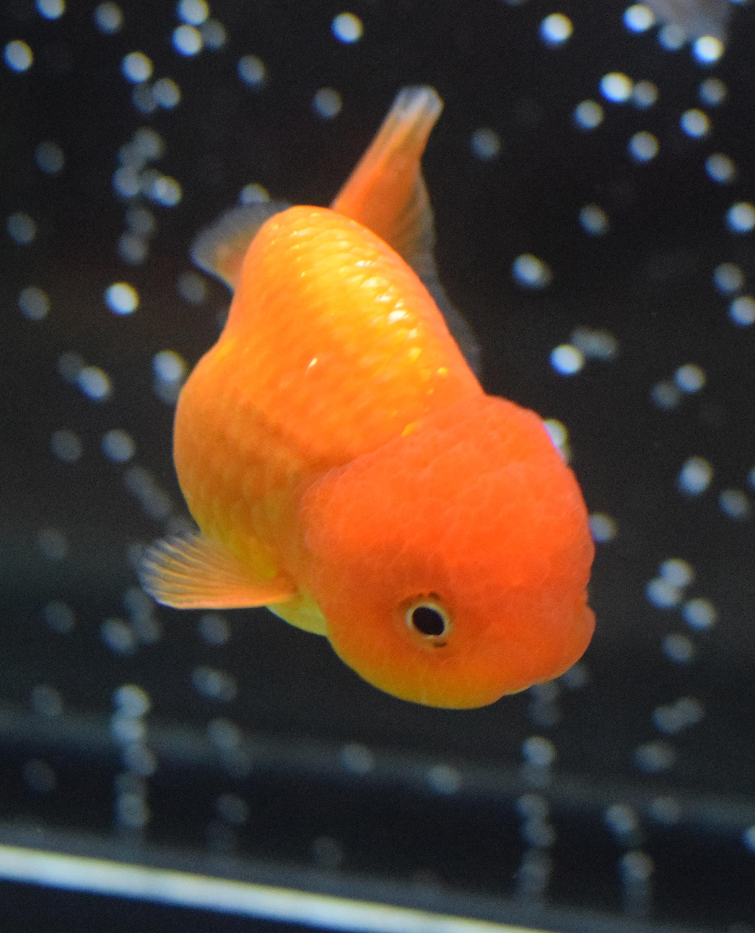 Baby lionhead goldfish ranchu lionhead oranda for Fish and more