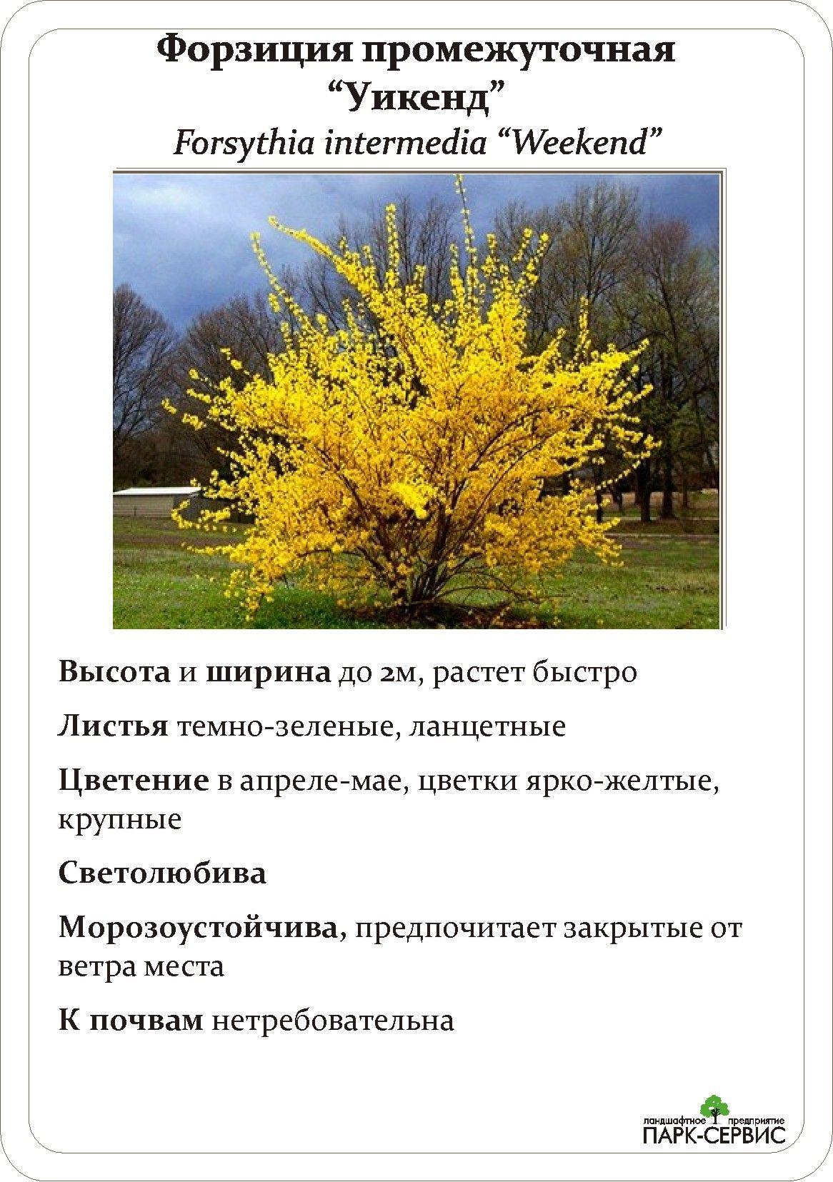 Лиственные (с изображениями) | Цветущие кустарники