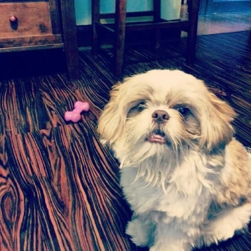 Name Dusty Status Safe Gender Male Species Dog Description White And Brown Shih Tzu Lost Without Collar Area Last See Pets Losing A Pet Brown Shih Tzu
