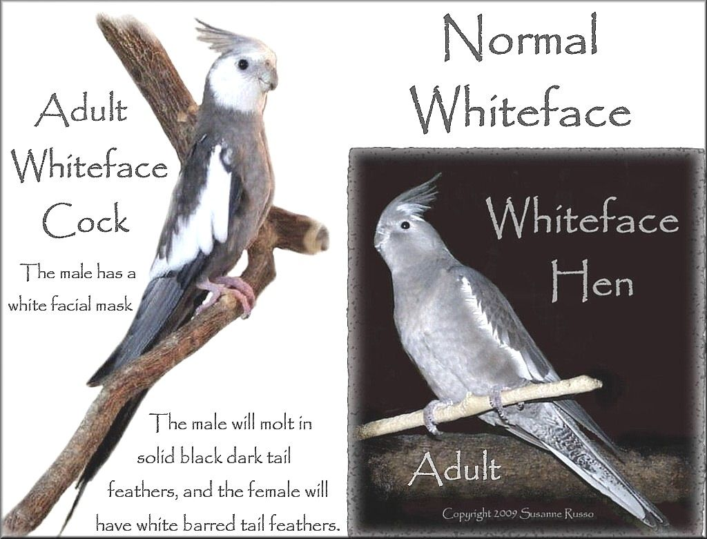 Normal Whiteface Male And Female Whiteface Cockatiel