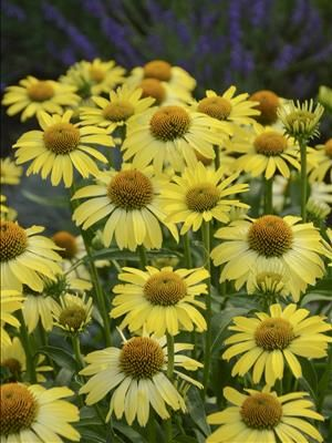 Cleopatra Coneflower Named For The Brilliant Yellow Cleopatra Butterfly The Blossoms Of This Fantastic New Cone Yellow Plants Echinacea Yellow Flowers Names