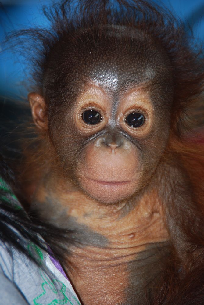 17 Impossibly Cute Pictures Of Baby Orangutans