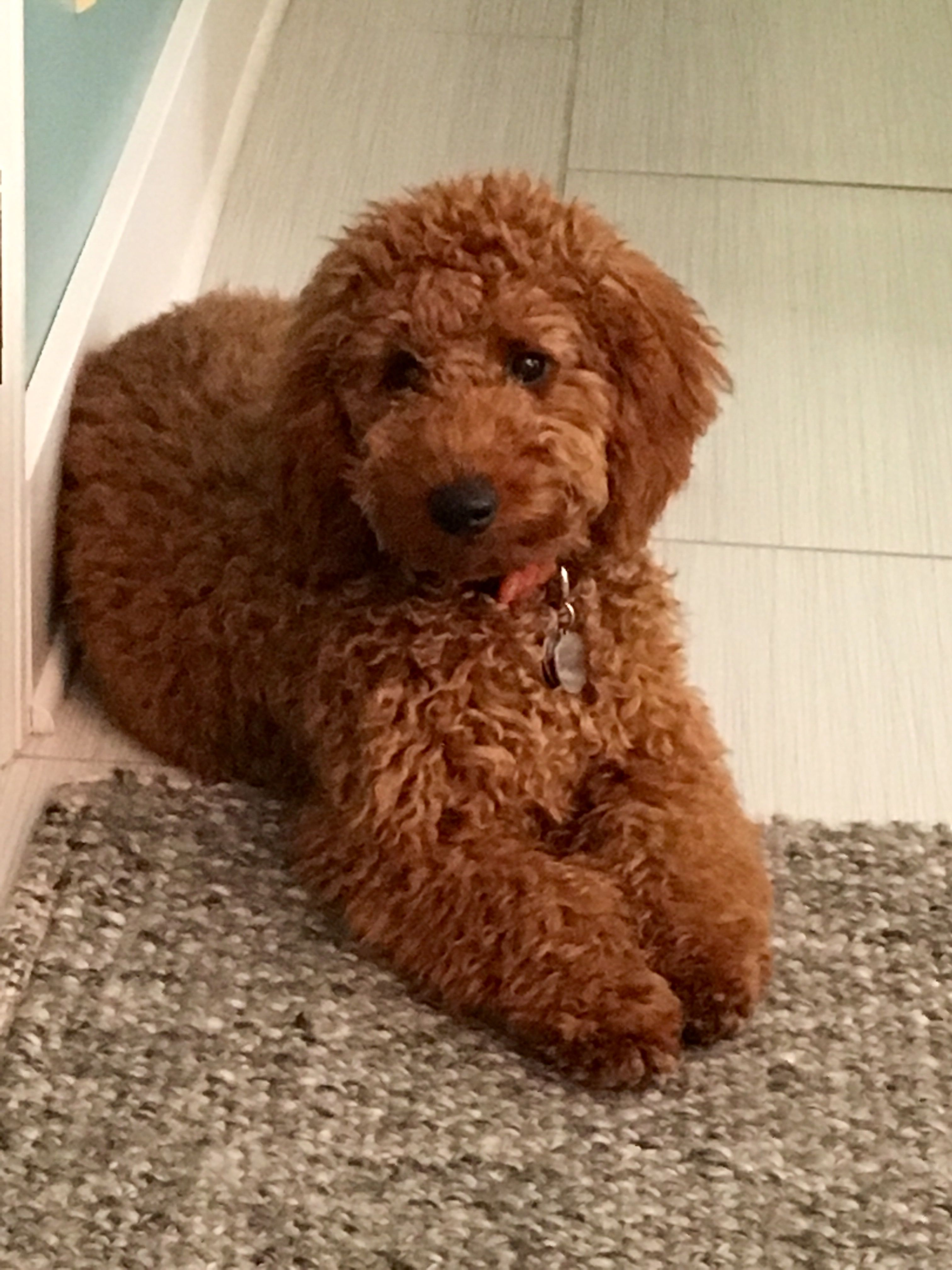 Apricot Mini Golden Doodle Freya Labradoodle Dogs
