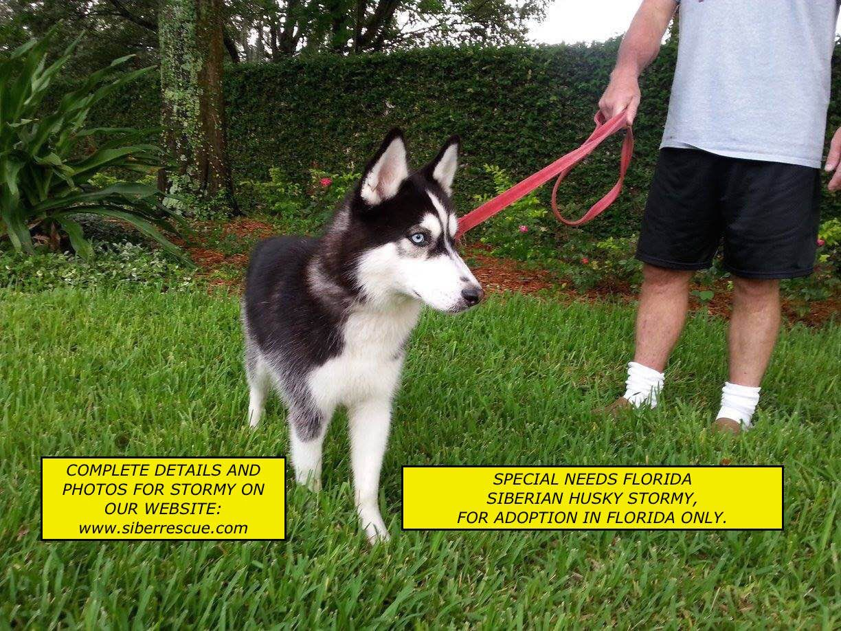 Florida Specialneeds Siberian Husky For Adoption In Fl Only