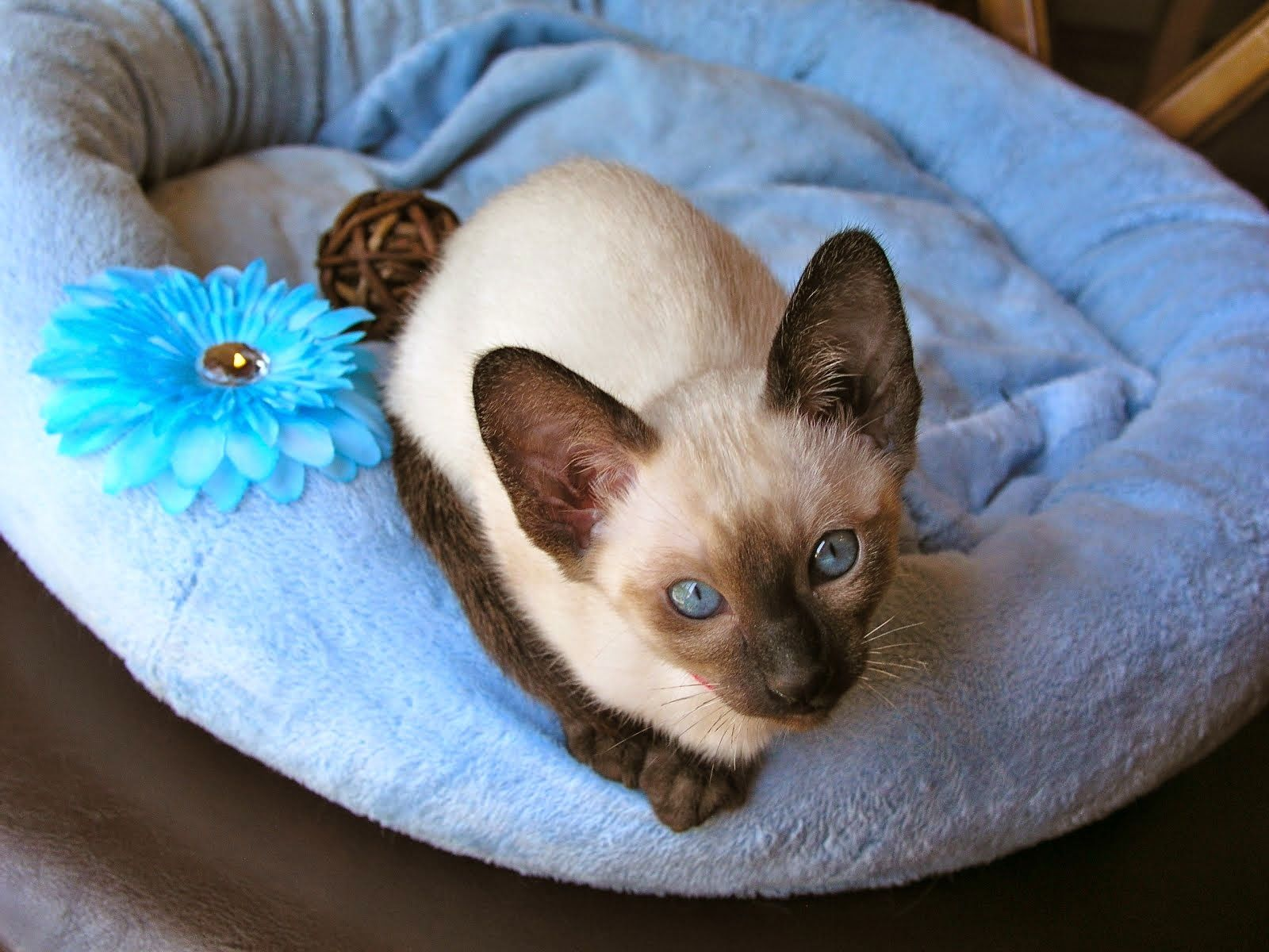Carolina Blues Cattery Siamese Kittens For Sale Siamese Cats For Sale Siamese Kittens Kitten For Sale