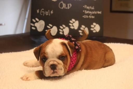 Litter Of 7 English Bulldog Puppies For Sale In Waverly Ks Adn