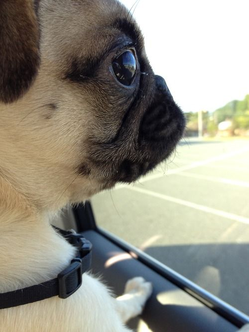 The world in a pug's eyes.
