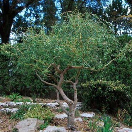 Kaufen Sie Mature Weeping Willow Tree