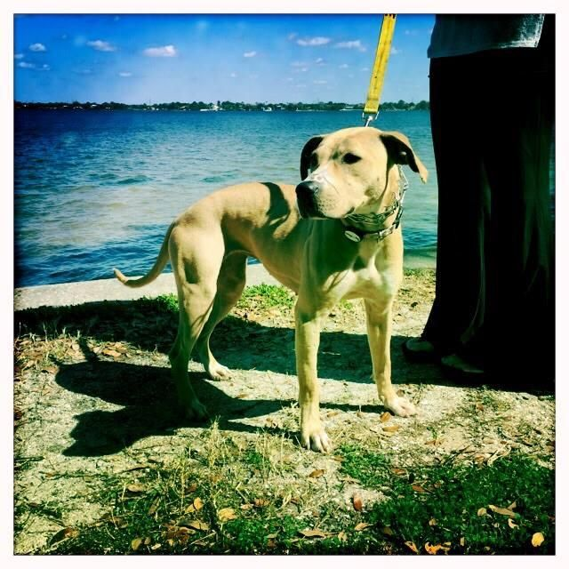 Adopt Giselle On Great Dane Dogs Big Dogs Dogs