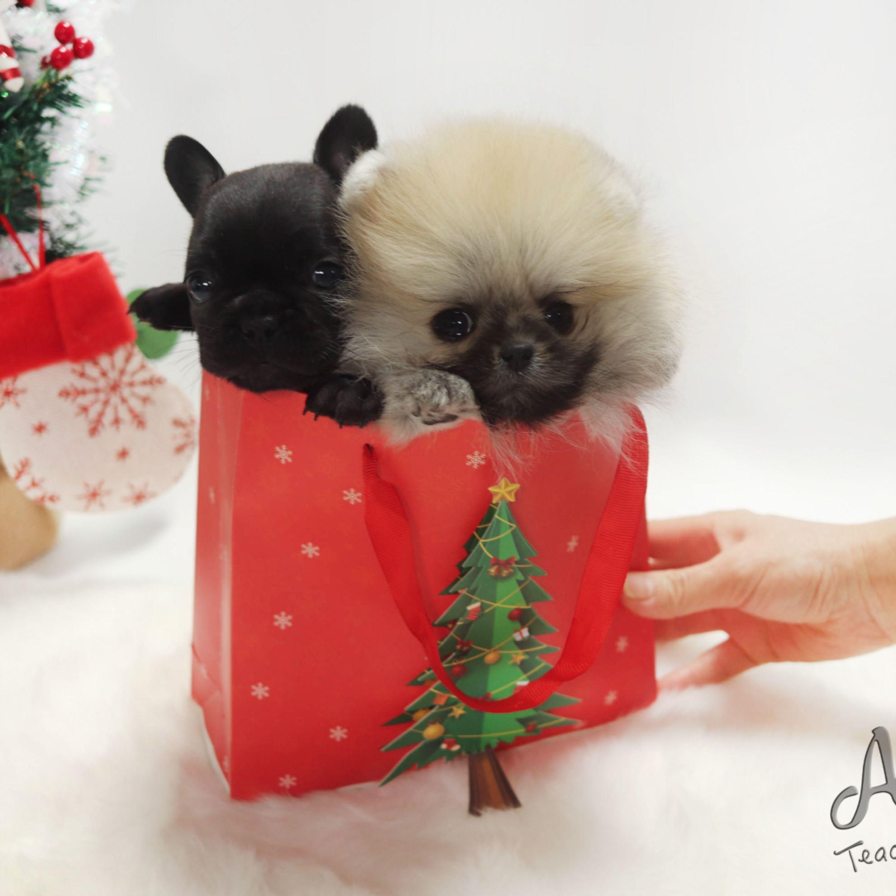 Merry Christmas Brownie Https Www Alohateacuppuppies Com Teacuppomeranian Pomeranian Orange Teacup Puppies Teacup Puppies For Sale Yorkie Dogs