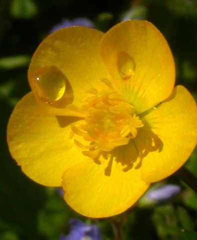 Buttercups Buttercup Flower Buttercup Flowers