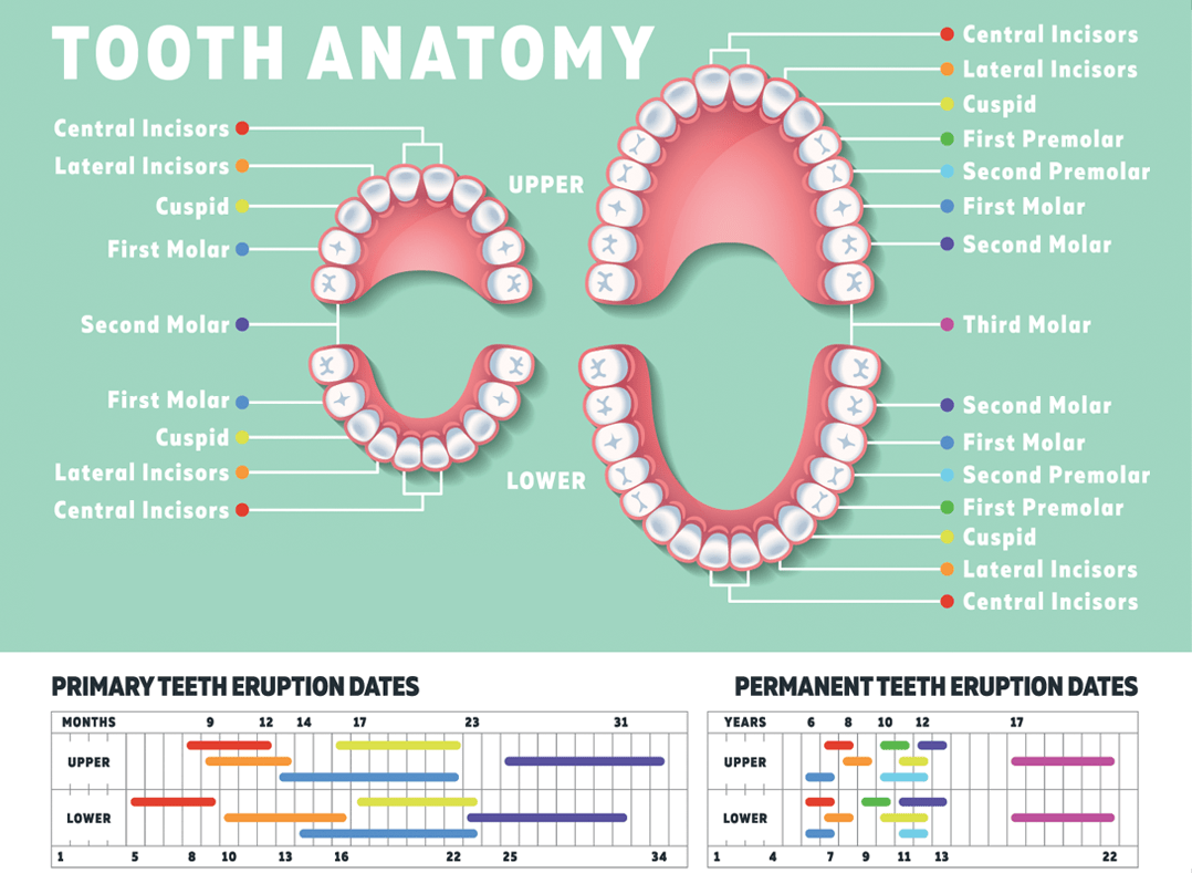 Child Teeth Count