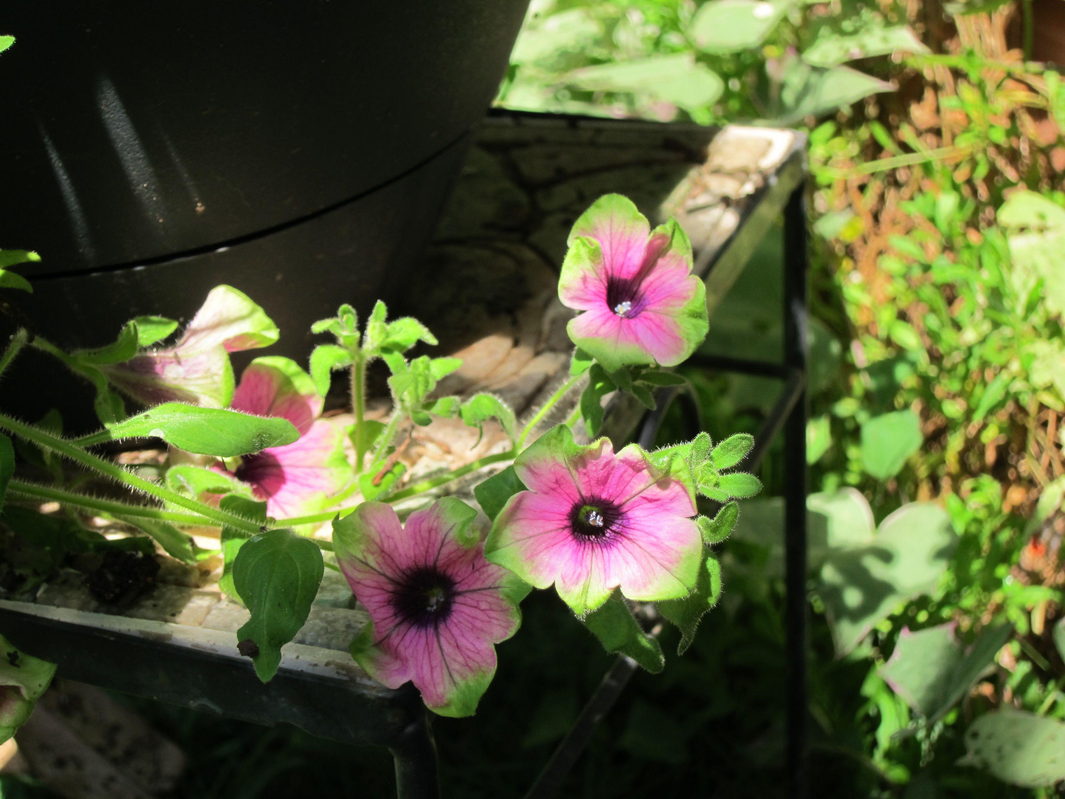Pistachio petunias.
