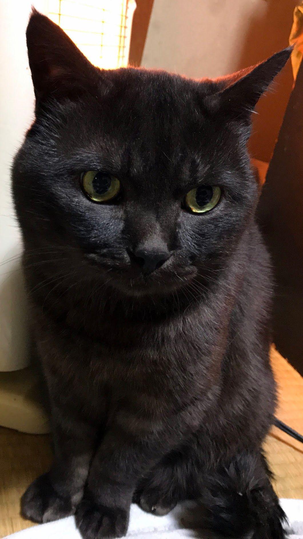 Pin By Thresa Van Kampen On Black Beauties Cats Cats Kittens American Bobtail Cat Bobtail Cat