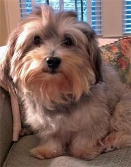 Max Havenese Adult Concord NC (With images) Havanese