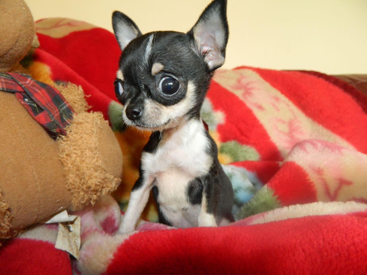Tiny Tiny Micro Teacup Tri Chihuahua Female Teacup