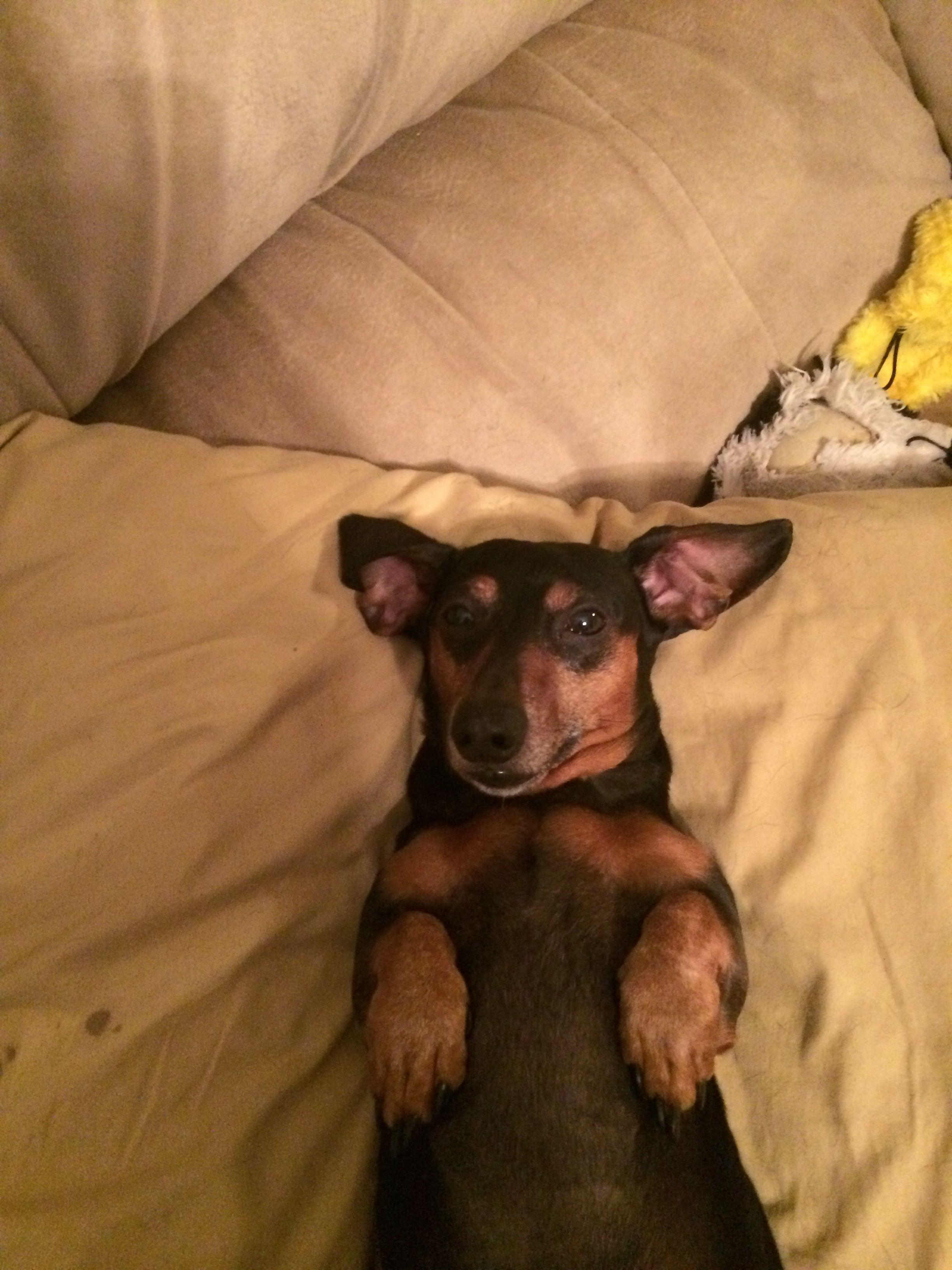 My favorite dachshund Riley