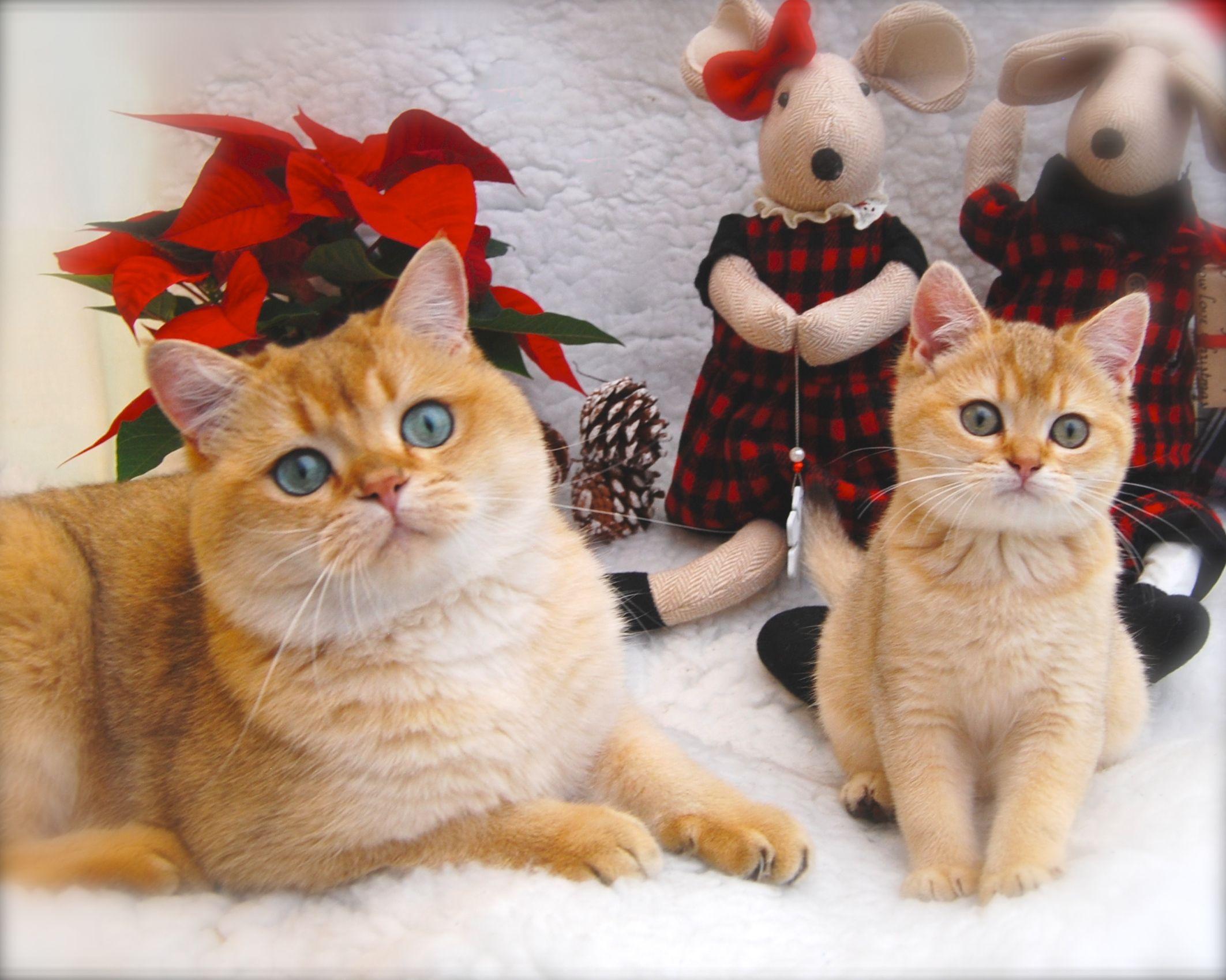Merry Christmas From Belle Ayr Black Golden Shaded Ny11 British Shorthair Cat Kitten British Shorthair British Shorthair Cats Cats And Kittens