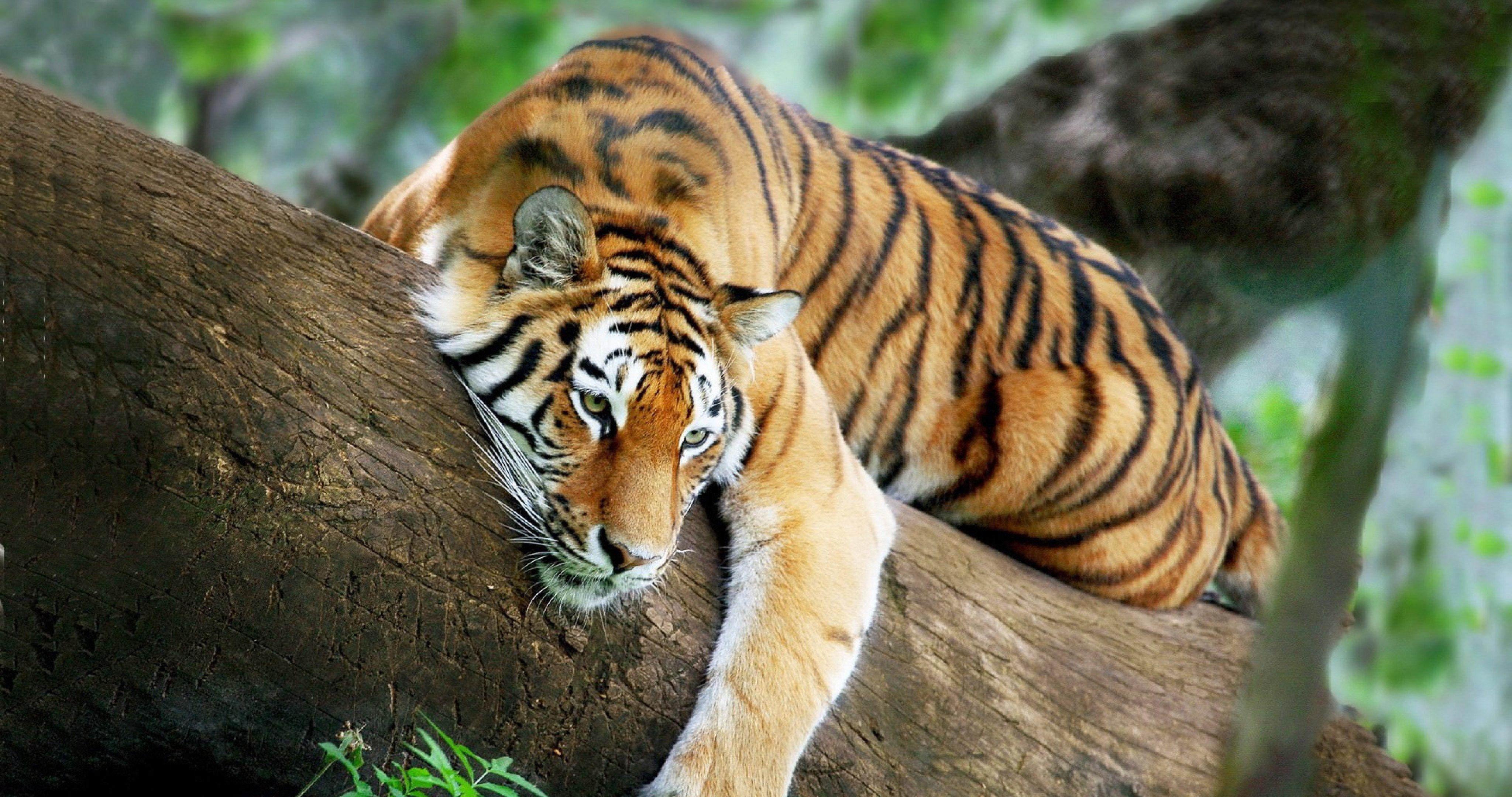 Tiger Recreation 4k Ultra Hd Wallpaper Wild Cats Animals Beautiful Animals Wild
