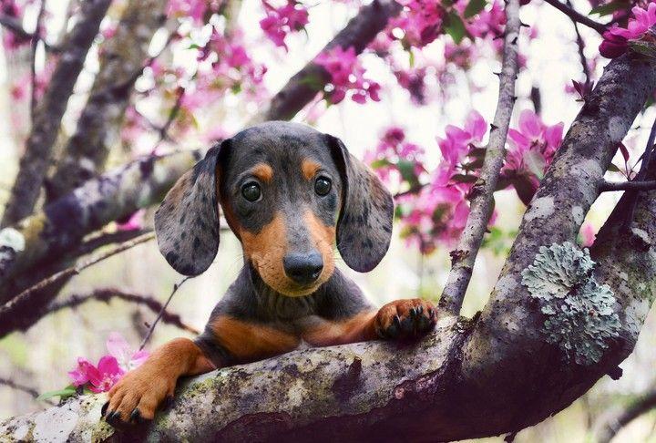 Dog In Spring Dachshund Dog Silly Dogs Weenie Dogs