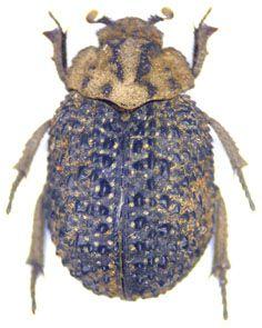Omorgus Afromorgus Rusticus Fahraeus 1857 甲虫類 虫 生き物