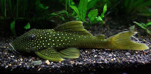 L200 Green Phantom Pleco Pleco Fish Plecostomus Fish