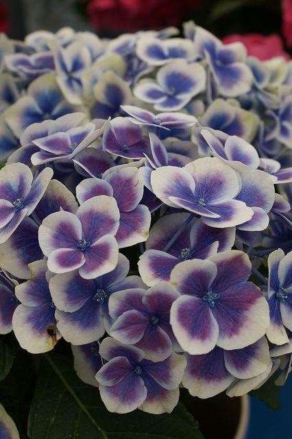 Hydrangea Bavaria 2 Beautiful Hydrangeas Beautiful Flowers Hydrangea Garden