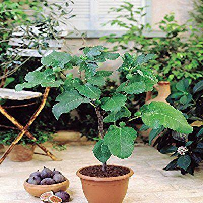 Feigenbaum 1 Baum Pflanzen Ficus Und Feigenbaum