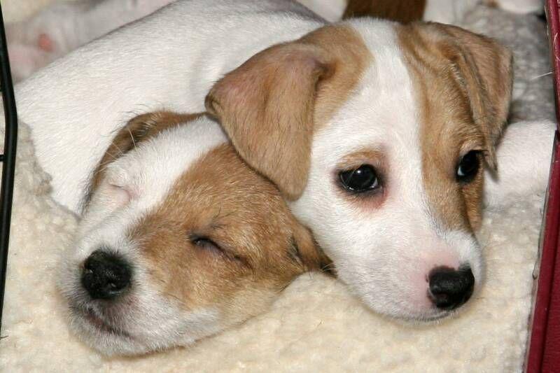 Shasta Jacks Jack Russell Jack Terrier Jack Russell Terrier