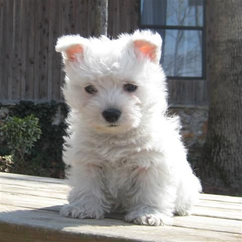 The Top 5 Trainable Dog Breeds Westie Puppies Westies Terrier