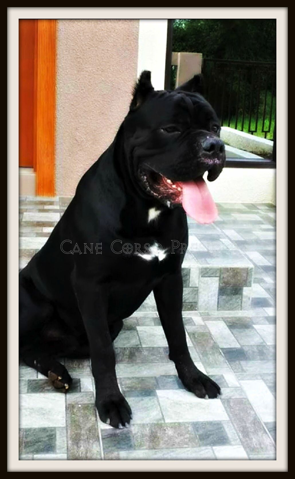 Presidio S Romano Is Now A Resident Of The Philippines Cane Corso Presidio Italian Mastiff Cane Corso Cane Corso Italian Mastiff Dogs