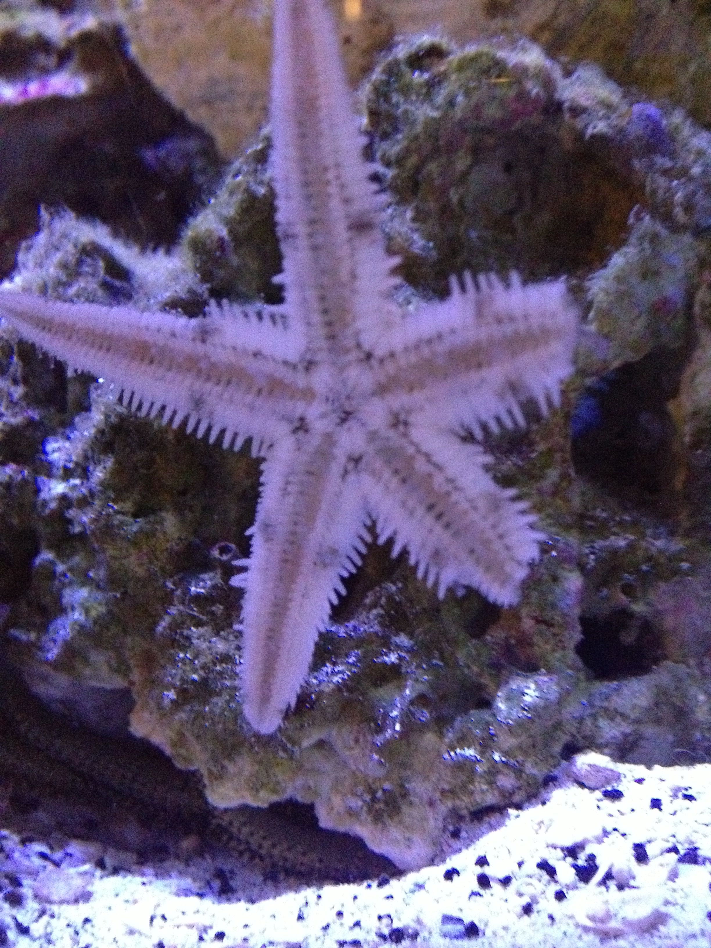 Sand Sifting Starfish That We Saved From The Circulation Pump Is Alive Starfish Sand