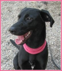 Cherry Doberman Pinscher Labrador Retriever Mix An Adoptable Dog