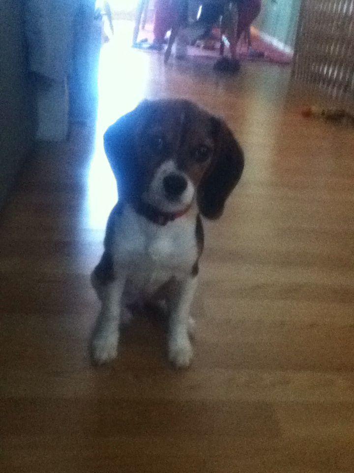 Cutest Beagle Puppy Ever Cute Beagles