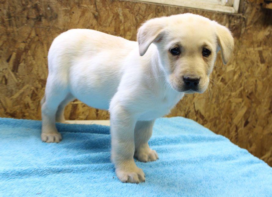 Taylor AKC Labrador Retriever puppy for sale at