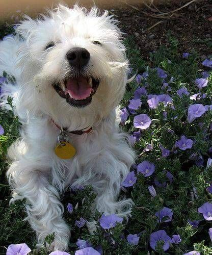 Pin By Triplelstudioart On Wonderful Westies In 2020 West Highland White Terrier Cute Dogs Dogs
