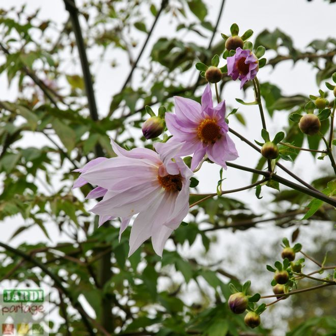 Dahlia imperialis, Dahlia bambou: conseils | Jardins, Bambou et Fleurs
