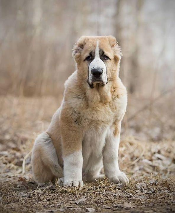 картинки собаки породы алабай