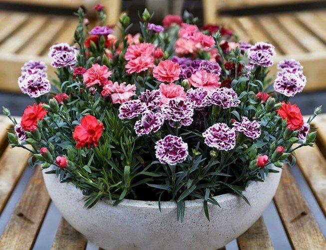 Cam Chuong Lun Garden Flower Beds Flower Garden Carnations