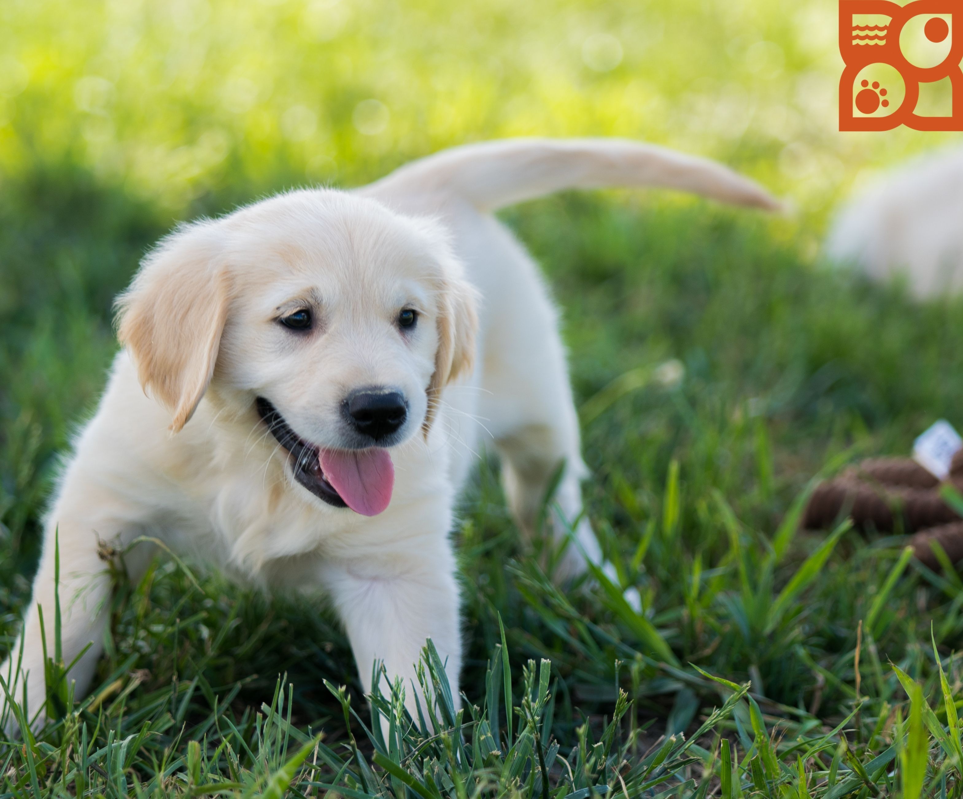Our Golden Retriever Pup Having Fun At Our Breeders
