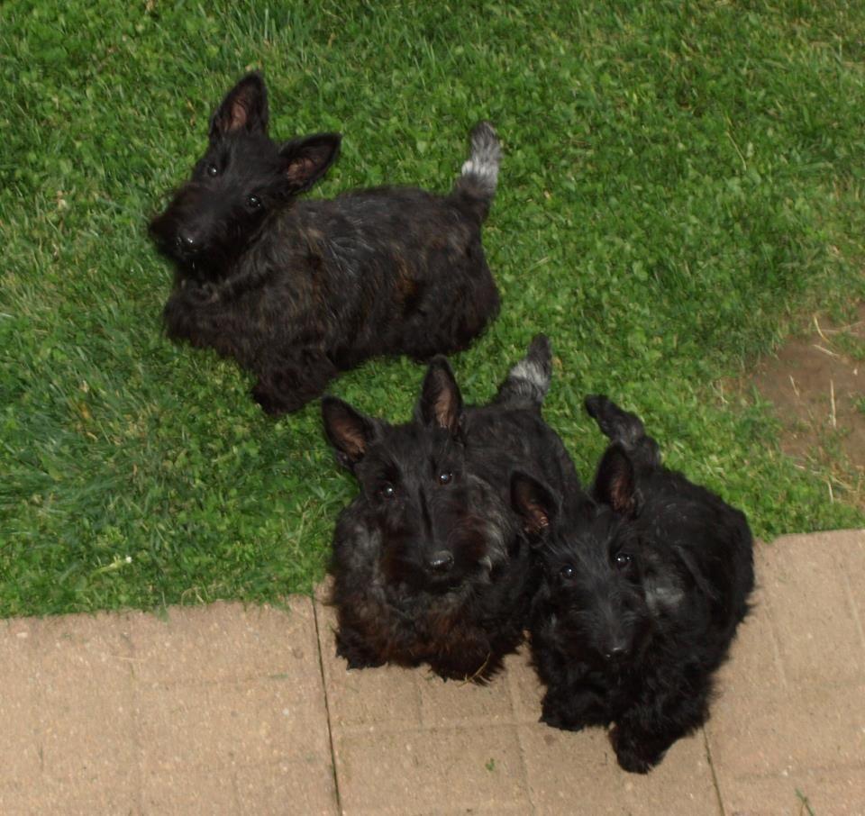 Cute 5 L 2 Month Old Puppies Scottie Puppies Scottie Terrier Scottie Dog