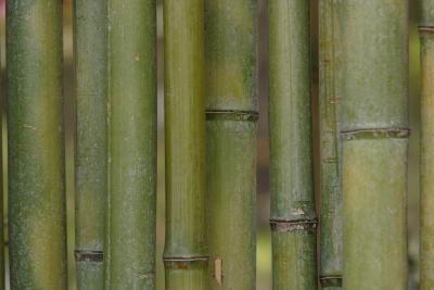 Como Lijar Palos De Bambu Grow Taller Indoor Bamboo Plant And - Palos-de-bambu