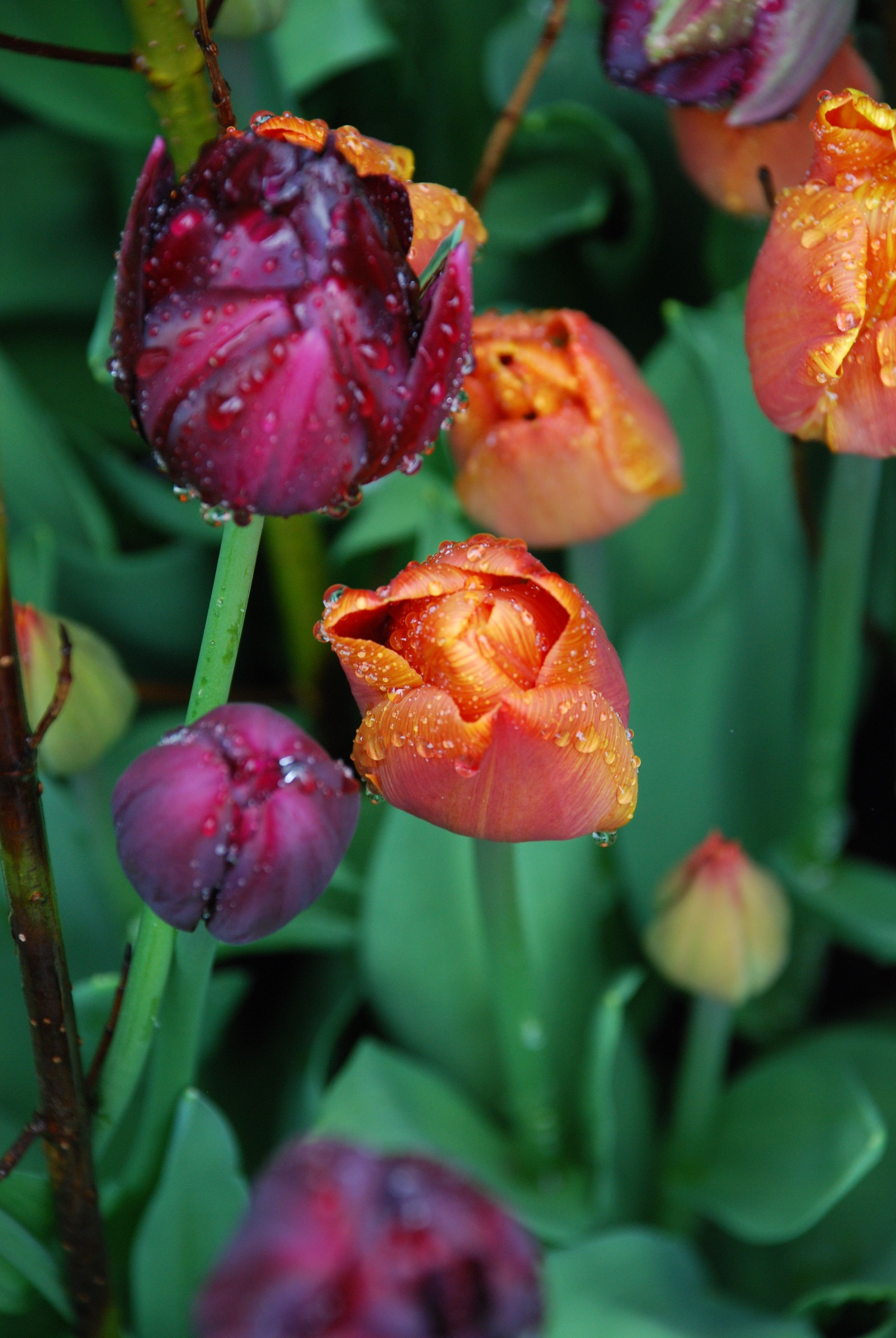 Princess Irene /& Negrita Mixed Collection Tulip Flower Bulbs