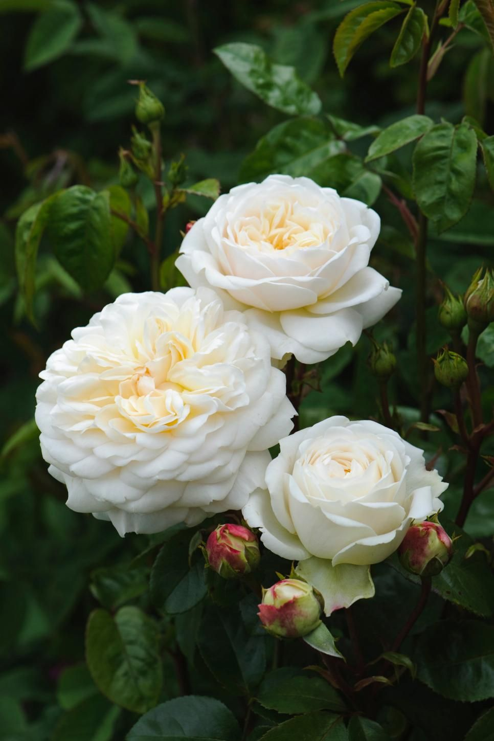 The Most Popular English Roses In America Landscaping Pinterest