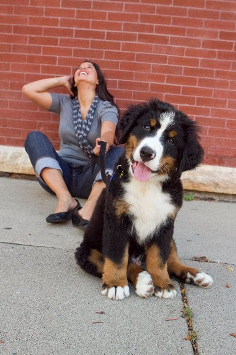 Bernese Head Tilt Bernese Mountain Dog Mountain Dogs Beautiful Dogs