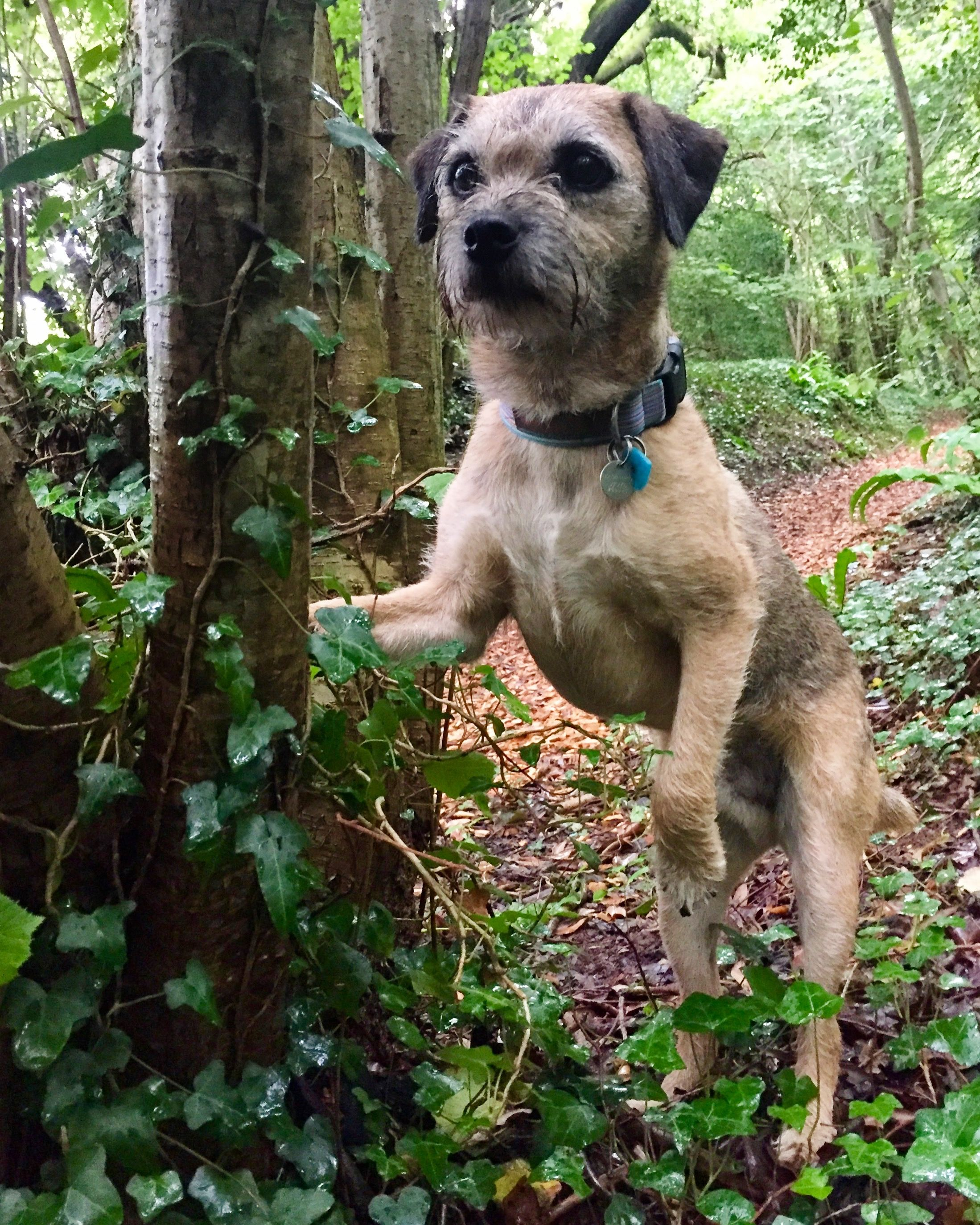 On The Look Out Border Terrier Puppy Border Terrier